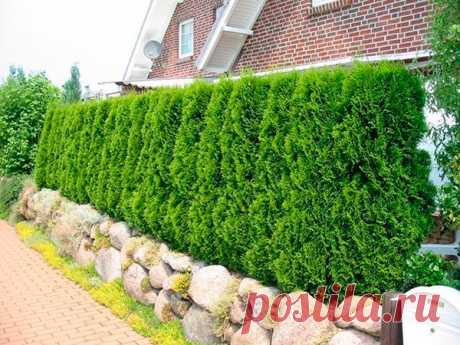 """5 reasons of cultivation of a thuja as a green fence\"""" the Female World"""