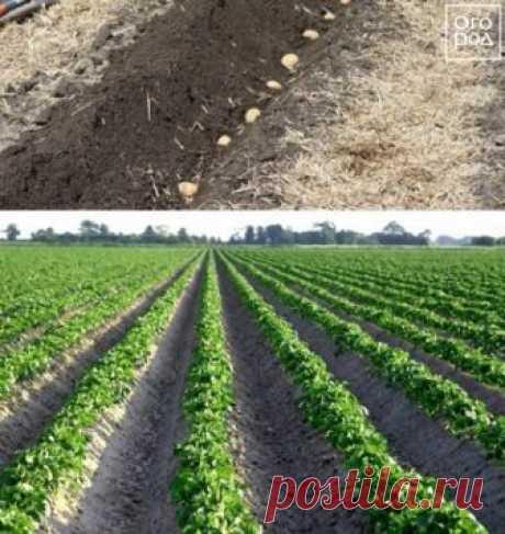 12 способов посадки картофеля: традиционные и новые   Картофель (Огород.ru)