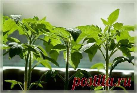 Экономный способ выращивания рассады томатов: из 1 семечка до 10 растений!!!   6 соток