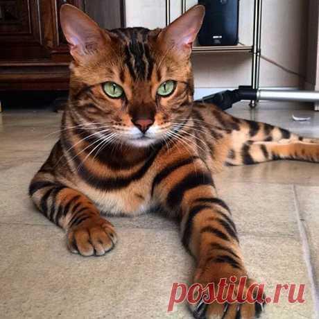 Бенгальский кот с самой красивой шерстью / Питомцы
