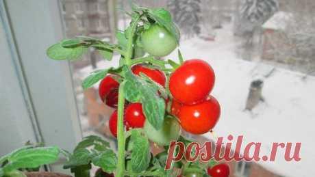 Особенности выращивания томата на подоконнике.