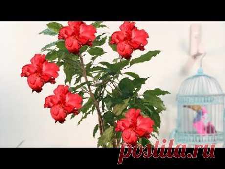 Гибискус- Китайская роза уход в домашних условиях