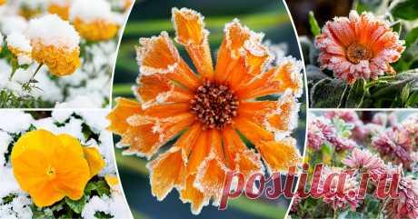 Цветы, которым не страшны осенние заморозки Какие растения украсят цветник поздней осенью и не погибнут во время первых морозов?