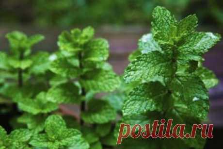 Как сажать мяту семенами и саженцами в открытый грунт