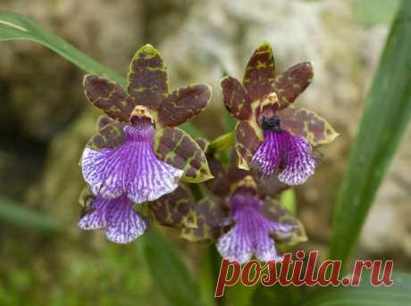 Зигопеталум из рода Орхидейных