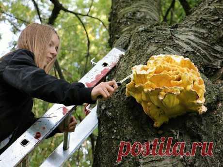 Серно-желтый трутовик или древесный цыплёнок. Вкусный и безопасный гриб. | КАССАНДРА  | Яндекс Дзен