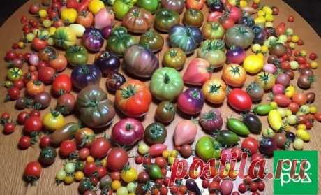 Как выбрать 5 сортов томатов, которых хватит для всего | На грядке (Огород.ru)