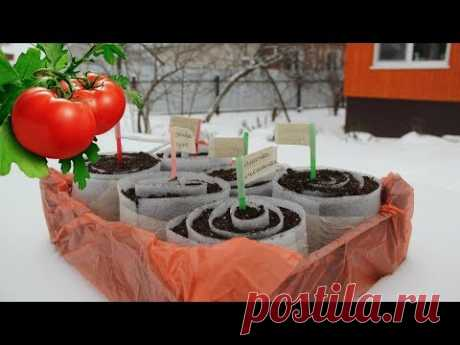 Seedling of Tomatoes in the Way of the Freezing. Shock Which Promised!