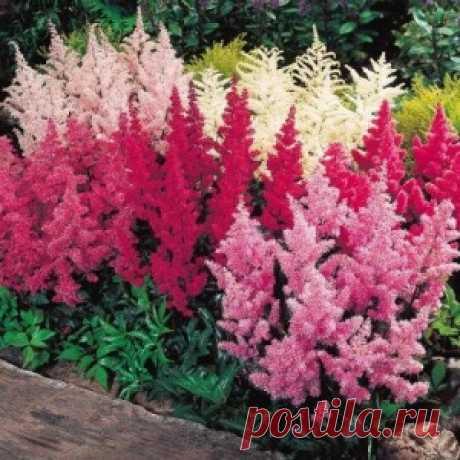 Цветы астильбы и её размножение