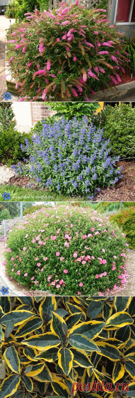 кустарники цветущие все лето, зимостойкие для участка