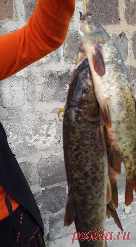 ԲԵՂԼՈՒ-Քասաղի👌💗 Այս գեղեցկուհիները Հայաստանի քաղցրահամ ջրերում աճող  Բեղլու ձկան 4 տեսակներից մեկն է,որը քիչ քանակով բազմանում է Միրաքի ջրամբարում ,և հատկապես Միրաքի ձորով հոսող Քասաղի վտակում,որոնց որսալը շատ դժվար է,հազվադեպ է պատահում...մեր աշխատակիցը մի քանի օր առաջ ձորից էր բերել,իսկ ձկներին խայծ հանդիսացող կարթի դերում հադես է եկել փնջաձև ծաղկաբույլ ունեցող Արևքուրիկ (Зверобой) Քասաղ գետի ջրերում ապրում են կողակ, բեղլու, սազան, թառափ, խեցգետին։
