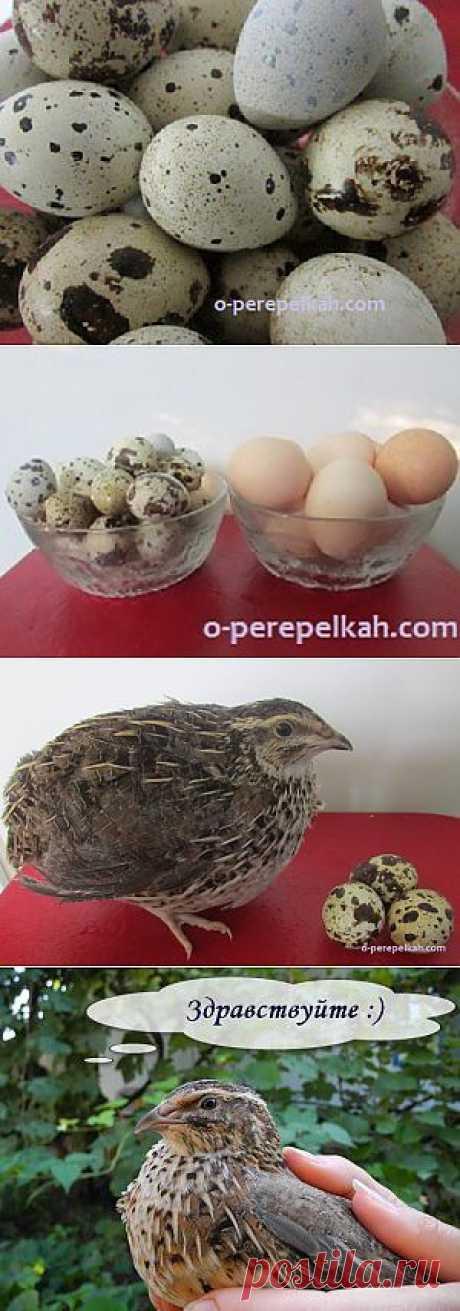 О пользе перепелиных яиц