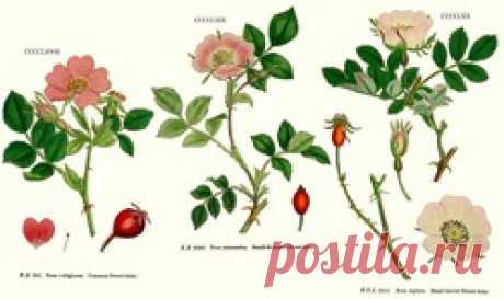 Шиповники? Нет, парковые розы! Евгений Писарев. часть 1.: Группа Цветы и флористика