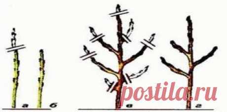 Обрезка колоновидных яблонь