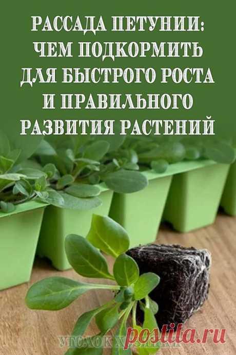 Петуния очень красивое растение, которое выращивают рассадным способом. Чтобы вырастить здоровую и крепкую рассаду необходимо регулярно подкармливать растения.