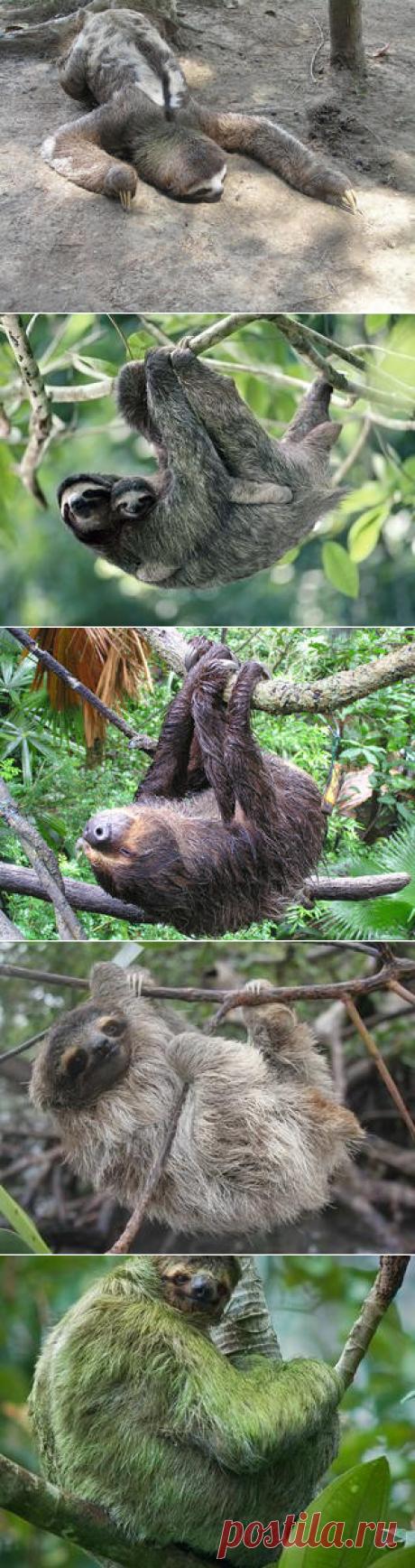 Смотреть изображения ленивцев | Зооляндия