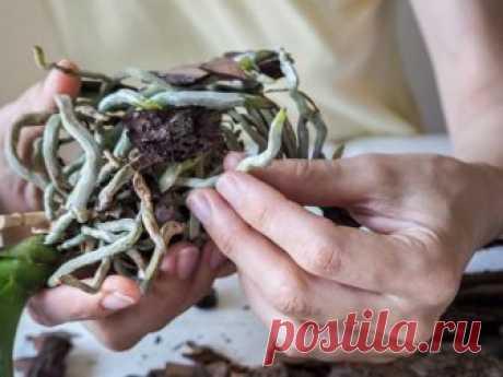 Пересадка фаленопсиса в домашних условиях – пошаговая инструкция | Полезно (Огород.ru)