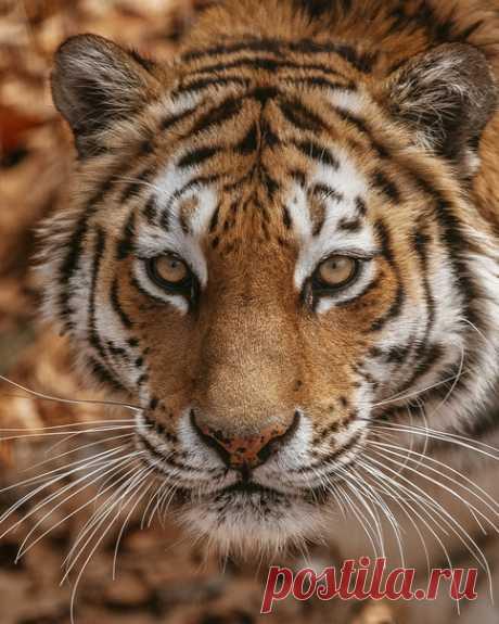 Портрет амурского тигра в объективе Ксении Крохиной: nat-geo.ru/community/user/26204/