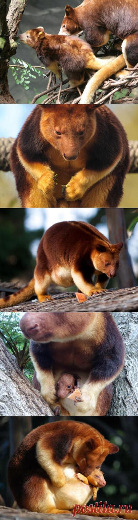 Смотреть изображения валлаби | Зооляндия