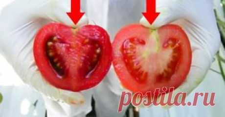 В летний сезон все мы стараемся покупать побольше овощей и фруктов, чтобы снабдить свой организм витаминами на весь год. Особенно популярны сейчас помидоры. К сожалению, некоторые производители пренебрегают всеми нормами и выращивают генно-модифицированные помидоры. Это