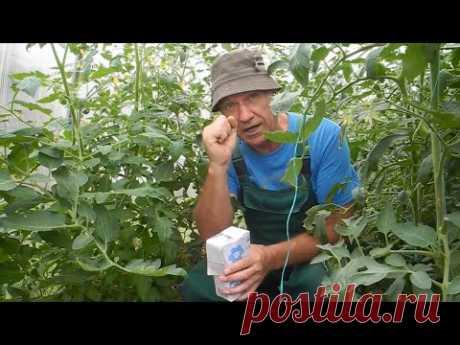 Подкормите этим помидоры и они у вас будут очень сладкими!
