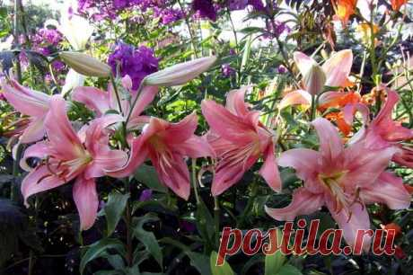 For those who loves lilies: how to put, look after and choose a grade