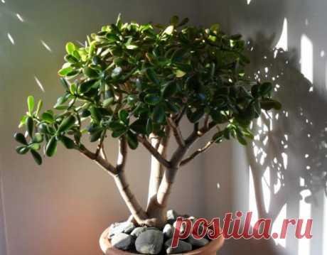 Невероятно но факт: Денежное дерево способно лечить болезни - Здоровье на Joinfo.ua