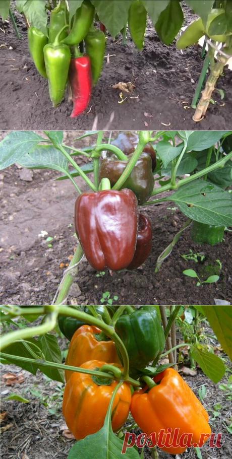Сорта перцев, которые посажу и в следующем году | Идеи для дома и окружения | Яндекс Дзен