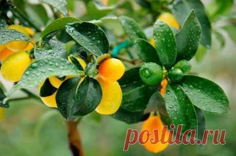 Кумкват: польза и вред, что это за фрукт и как его едят