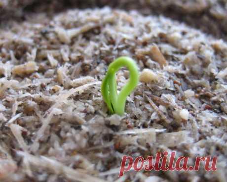 """Как """"оживить"""" старые семена  Здравствуйте! Сегодня я хочу рассказать одну историю о чудесном воскрешении старых семян.  Я, как травница, интересуюсь не только лекарственными травами. По сердцу мне и садово-огородные работы. На н…"""