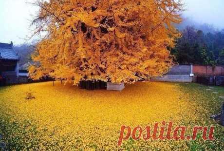 Золотое дерево гинкго, Китай