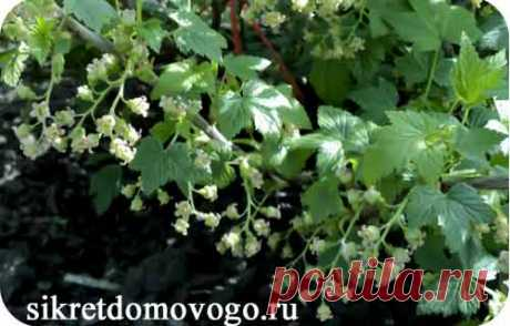 Spring processing of currant | SECRETS of the BROWNIE