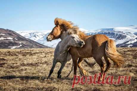 Прекрасные фотографий диких лошадей Лошади с тех пор, как человек приручил их, восхищали людей своей силой, грацией и красотой. Они могут быть настоящими преданными друзьями человека и человек в ответ, порой, платит им также любовью. Фотограф Браги Ингибергссон тоже любит лошадей и фотографировала их с детства...