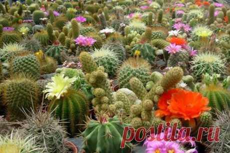 Как вырастить кактус из семян: правила посадки, процент всхожести, особенности полива и ухода за цветком Опытные цветоводы предпочитают не покупать готовые кактусы в магазинах, а выращивать их самостоятельно из семян. Благодаря такому способу размножения можно получить цветы конкретного сорта или обзавес...