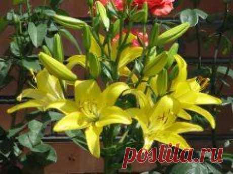Садовые многолетники - Лилия желтая