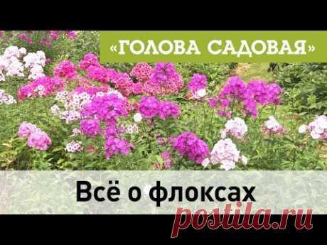 Голова садовая - Всё о флоксах