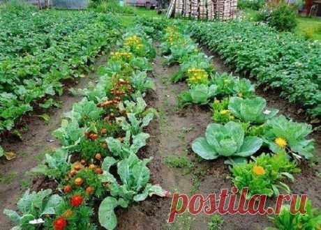 Замечательный сосед - 5 пар растений в огороде, помогающих друг другу