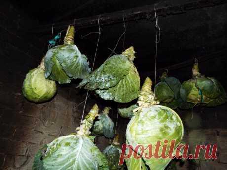 Как сохранить капусту в свежем виде до 1-го июля? 5 эффективных способов с подробными инструкциями
