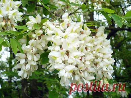White acacia clusters fragrant
