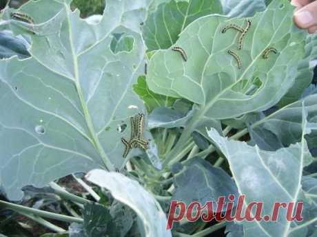 Лучшая защита от бабочки капустницы | Роскошная усадьба | Яндекс Дзен