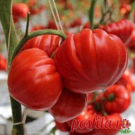 Чтобы томаты быстрее краснели