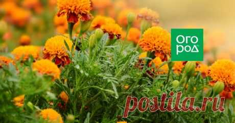 Инструкция: выращивание рассады бархатцев в домашних условиях Не нужно быть цветоводом с многолетним опытом, чтобы вырастить позитивные и неприхотливые бархатцы. Особенно, если иметь под рукой подробную пошаговую инструкцию.