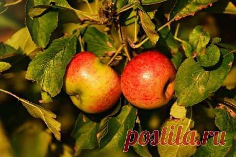 Как просто размножать фруктовые деревья | Дачная жизнь | Яндекс Дзен