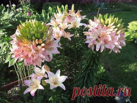 Удивительная лилия, которая имеет 100 цветков на одном стебле!!!  Эта лилия именуется «Марлен» (Marlene) и своими необычными свойствами обязана такому явлению как фасциация – срастание стеблей, т.е. к мутации.Специально спровоцировать фасциацию нельзя, это свойство заложено генетически. Но повысить шанс цветения чуда можно хорошими подкормками , ведь самостоятельно лилии будет очень сложно прокормить такое количество цветов. Срастание стеблей может проявиться через несколь...