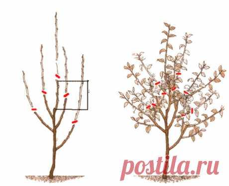 4 «нельзя» в обрезке яблонь и другие советы от Мичурина | посуДАЧИм об огороде | Яндекс Дзен