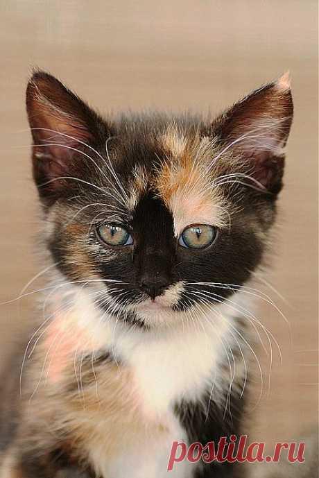 Calico kitten | Flickr - Photo Sharing!