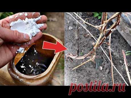 Сделайте это с виноградом в апреле после снега для огромного урожая! Уход подкормка обработка