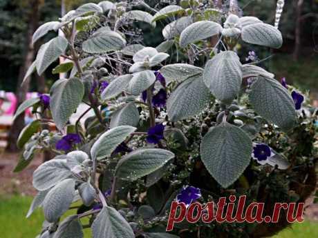 Плектрантус — красивый, ароматный и полезный