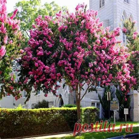 100 шт. Креп Миртл семена кустарник двор миртом lagerstroemia цветочных растений для дома и сада купить на AliExpress