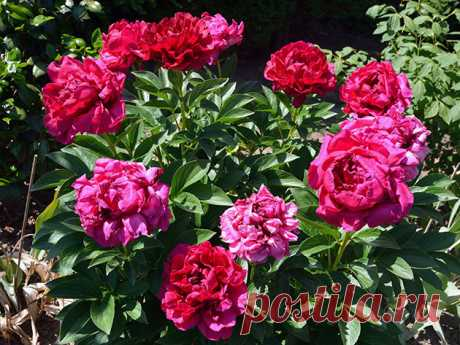 Цветы пионы – посадка и размножение пионов осенью; когда пересаживать пионы, фото пионов